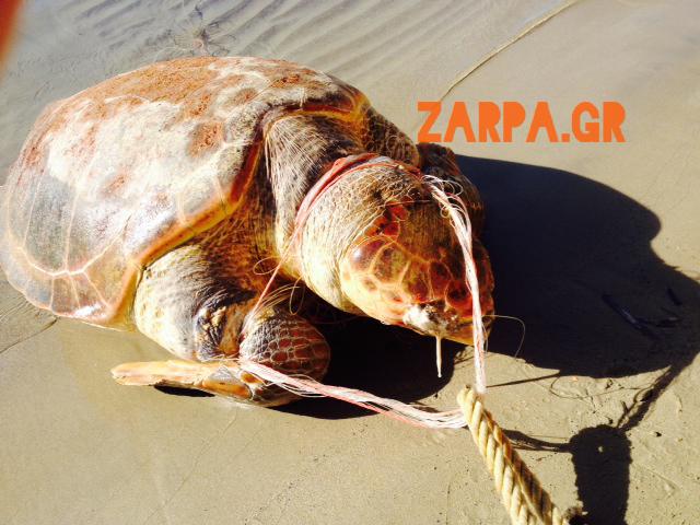 Χανιά: Τεράστια χελώνα καρέτα - καρέτα ξεβράστηκε στους Αγίους Αποστόλους (φωτο)