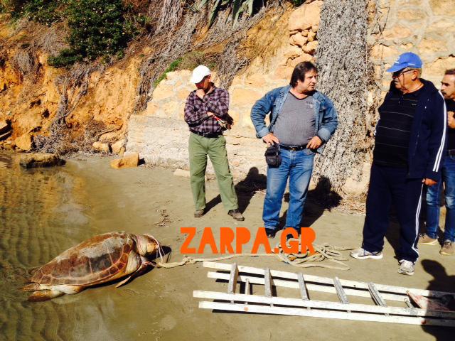 Χανιά: Τεράστια χελώνα καρέτα – καρέτα ξεβράστηκε στους Αγίους Αποστόλους (φωτο)