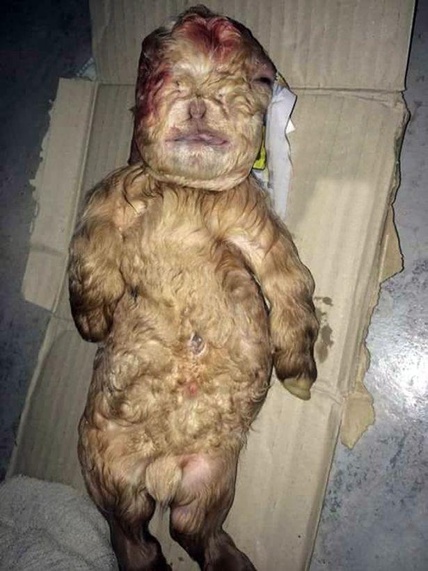 Κατσικάκι γεννήθηκε με πρόσωπο ανθρώπινου βρέφους
