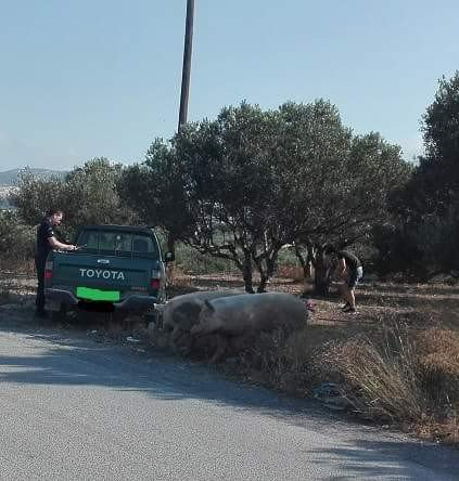Γουρούνια επιτέθηκαν σε περιπολικό σε χωριό της Κρήτης (φωτό)