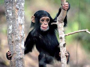 Και οι αρσενικοί χιμπατζήδες πεθαίνουν πριν τα θηλυκά