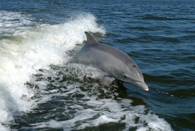 Χανιά: Έσωσαν δελφίνι από βέβαιο θάνατο!