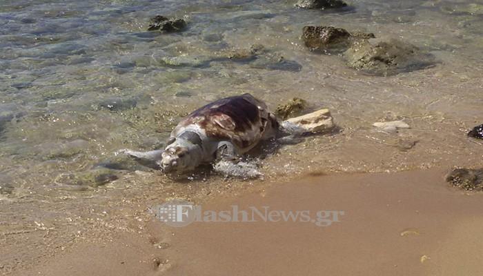 Νεκρή χελώνα Καρέτα - Καρέτα στην παραλία του Καλαθά στα Χανιά
