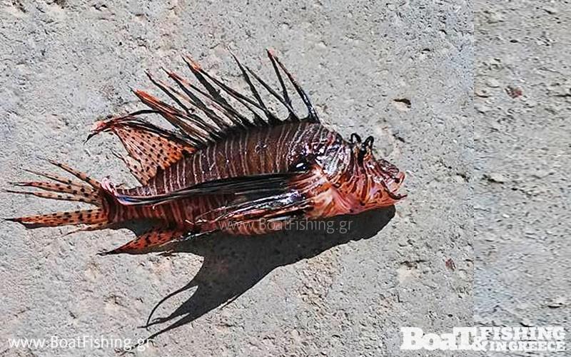 Πιάστηκε λεοντόψαρο στη Κρήτη - Ένα εξαιρετικά επικίνδυνο ψάρι για όλους