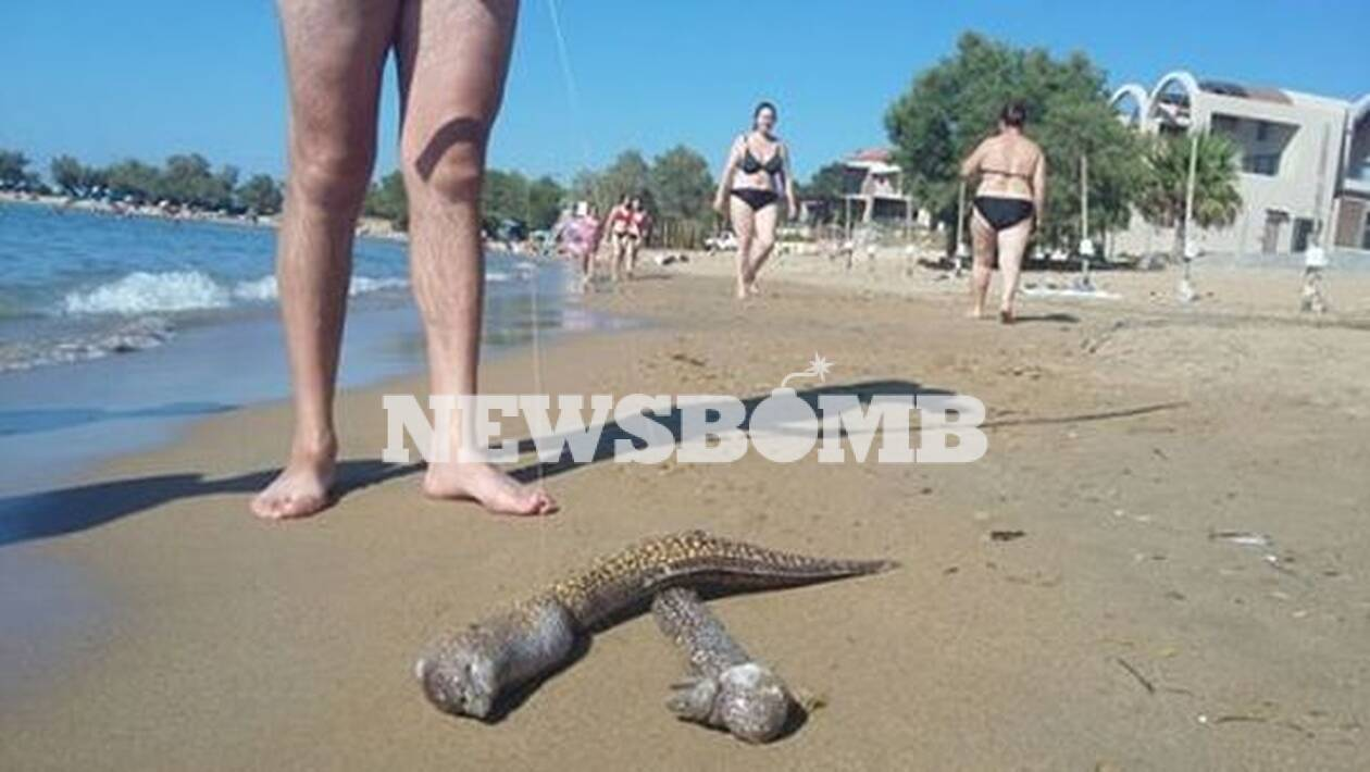 Χανιά: Τεράστιες σμέρνες ξεβράστηκαν σε γνωστή παραλία (φωτο)